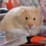 hamster_pixelio.de